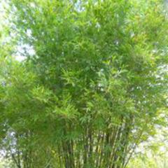 BambooPlantsOnline.com